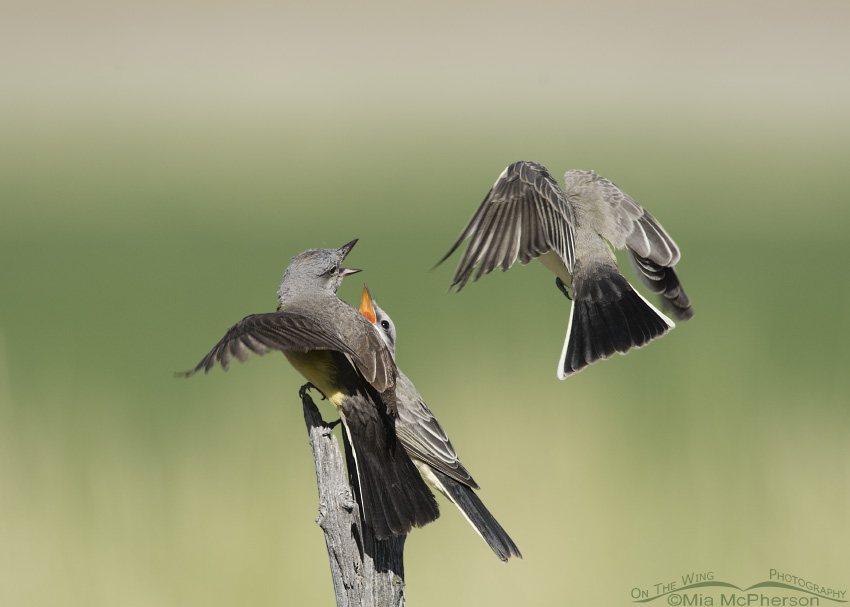 Two juvenile Western Kingbirds begging for food from the adult