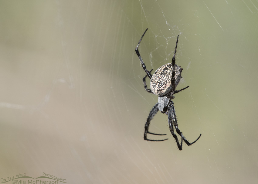 Female Western Spotted Orbweaver in her web