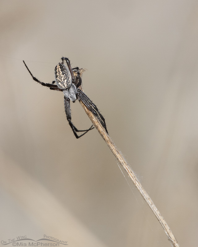 Female Western Spotted Orbweaver on a stick
