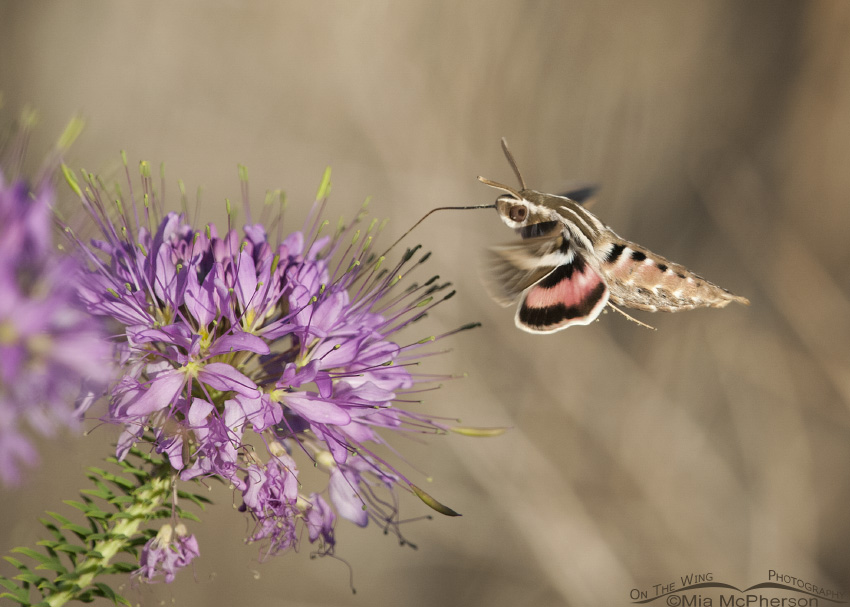 White-lined Sphinx Moth hovering over a Rocky Mountain Bee Plant