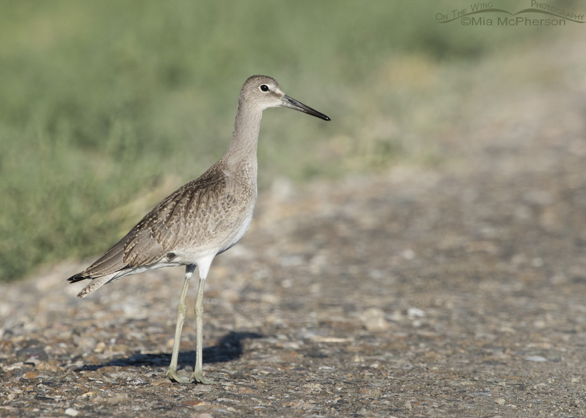 A juvenile Willet at Bear River NWR