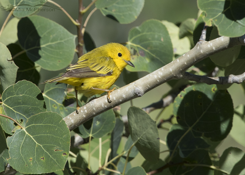 Male Yellow Warbler and Aspens