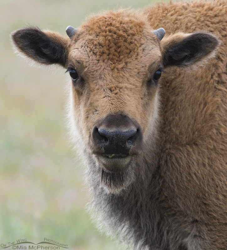 An American Bison Calf in May