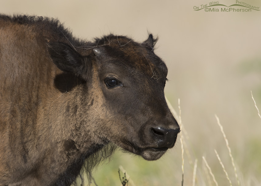 An American Bison Calf in July