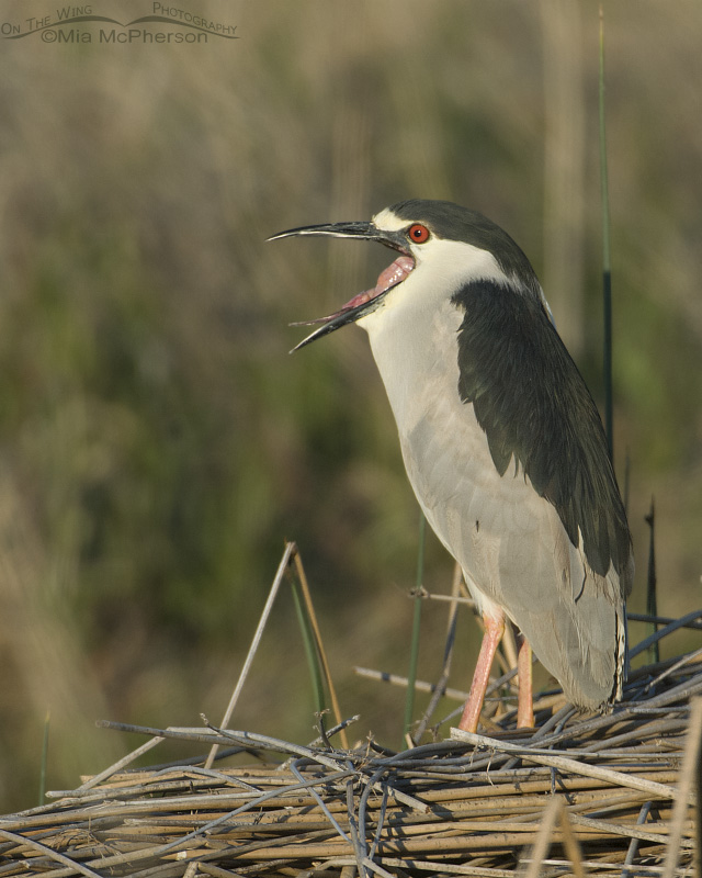 Yawning Black-crowned Night Heron