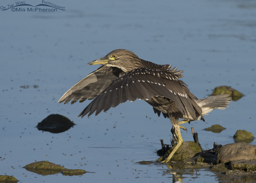 Juvenile Black-crowned Night Heron landing in the Bear River