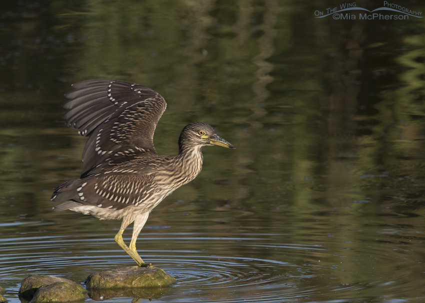 An immature Black-crowned Night Heron stretching a wing