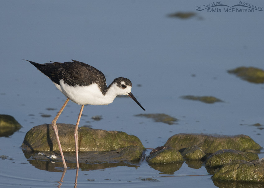 A juvenile Black-necked Stilt foraging in the Bear River