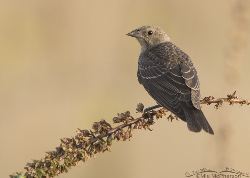Juvenile Brown-headed Cowbird perched on Moth Mullein