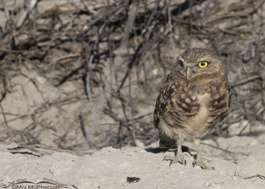 A young Burrowing Owl outside of its burrow