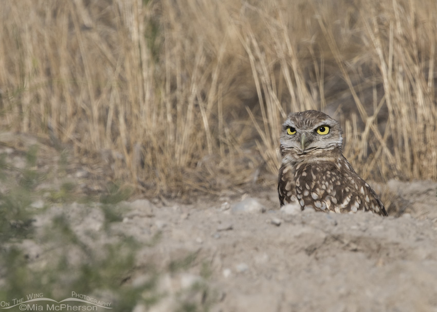 A young Burrowing Owl peeking out of its burrow