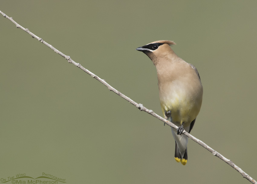 Cedar Waxwing in Little Emigration Canyon