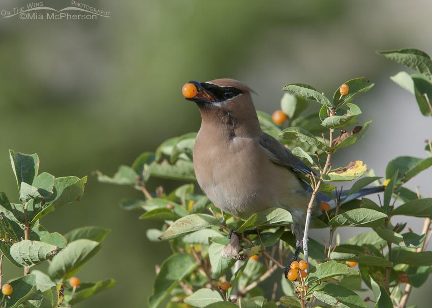 An adult Cedar Waxwing eating a berry
