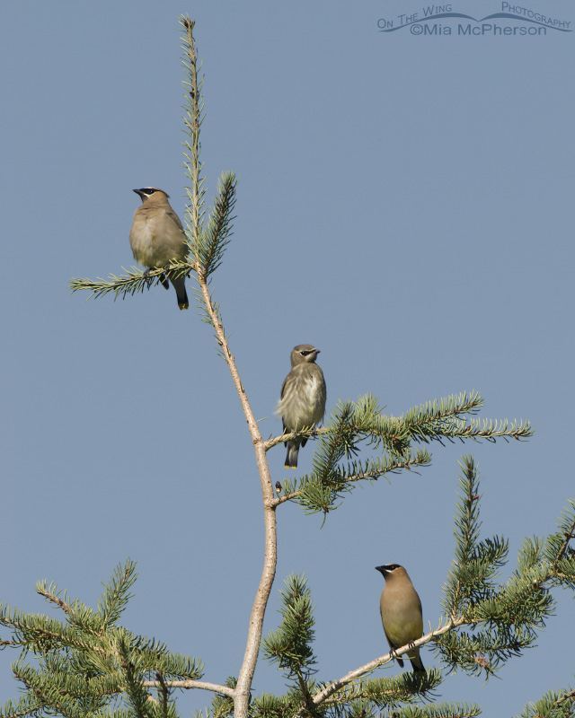 A family of Cedar Waxwings on the outskirts of Virginia City, Montana