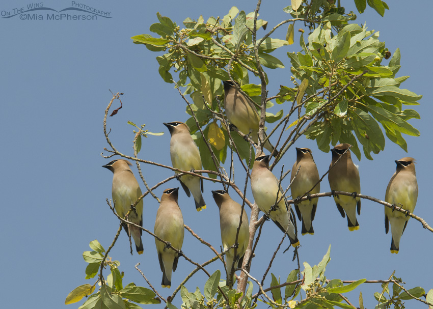 A flock of Cedar Waxwings just outside Ruskin, Florida