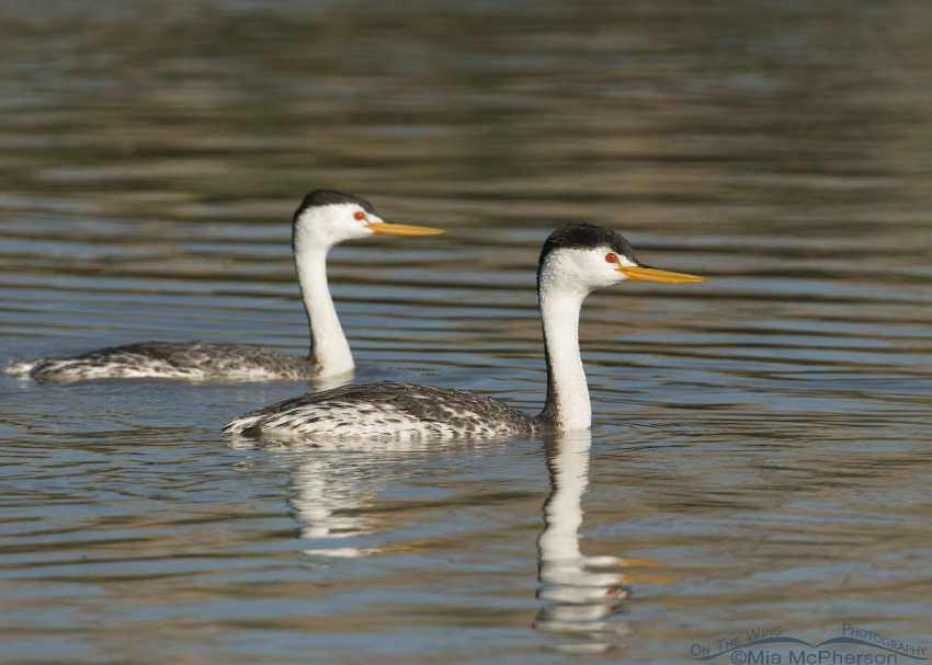 Pair of Clark's Grebes