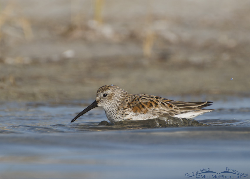 A bathing Dunlin