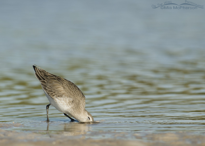 A Dunlin digging in the mud for prey