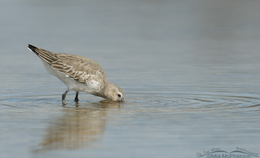 A Dunlin searching for prey in a quiet lagoon