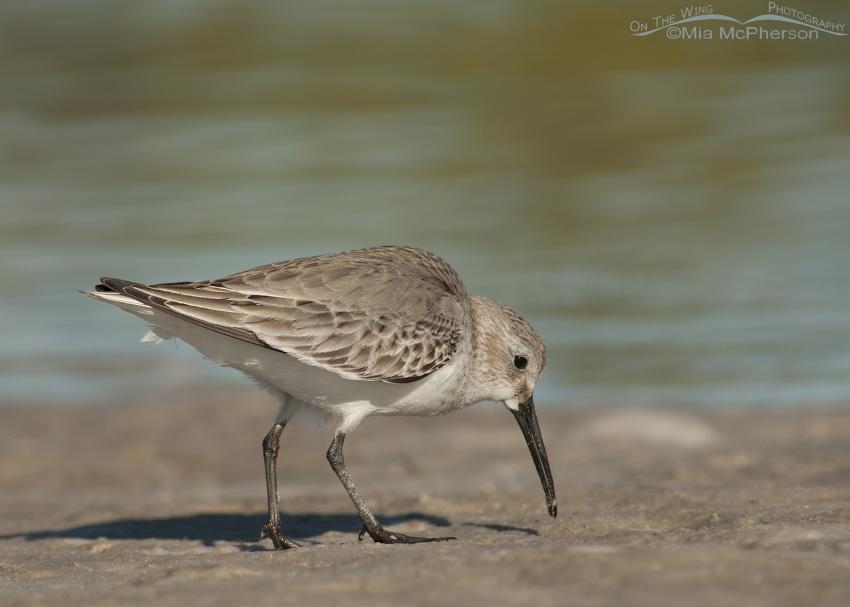 Dunlin feeding on a lagoon shoreline