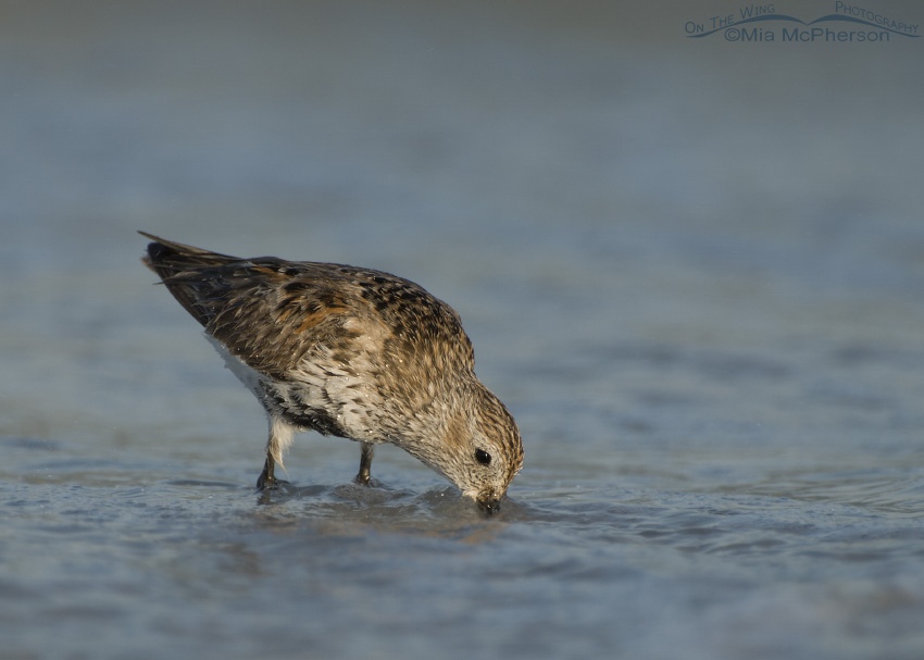 Dunlin feeding in the waves of the Gulf of Mexico