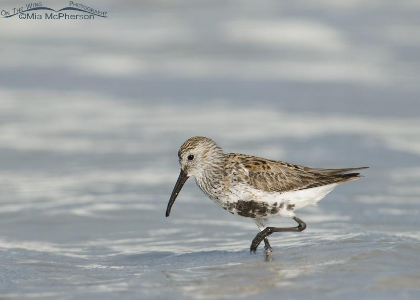 Dunlin feeding at the Gulf shoreline