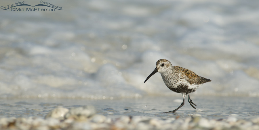 A Dunlin running along the shore of the Gulf