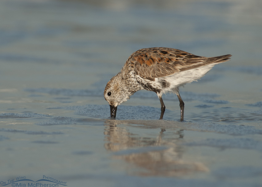 Dunlin starting to go into breeding plumage