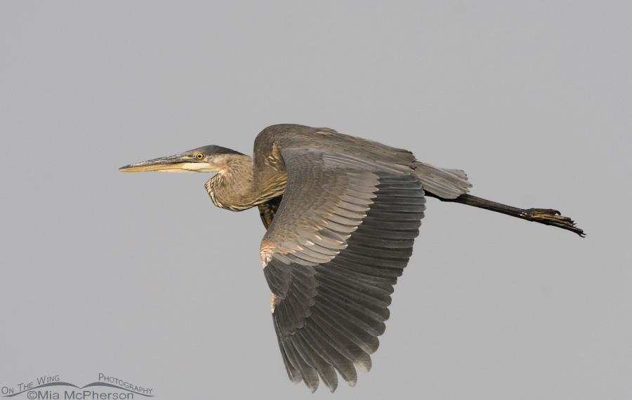 Great Blue Heron flying in smokey skies