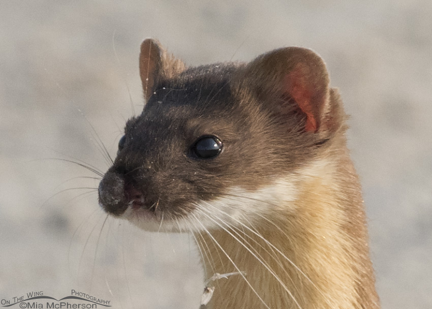 Close up of the Long-tailed Weasel's facial injury