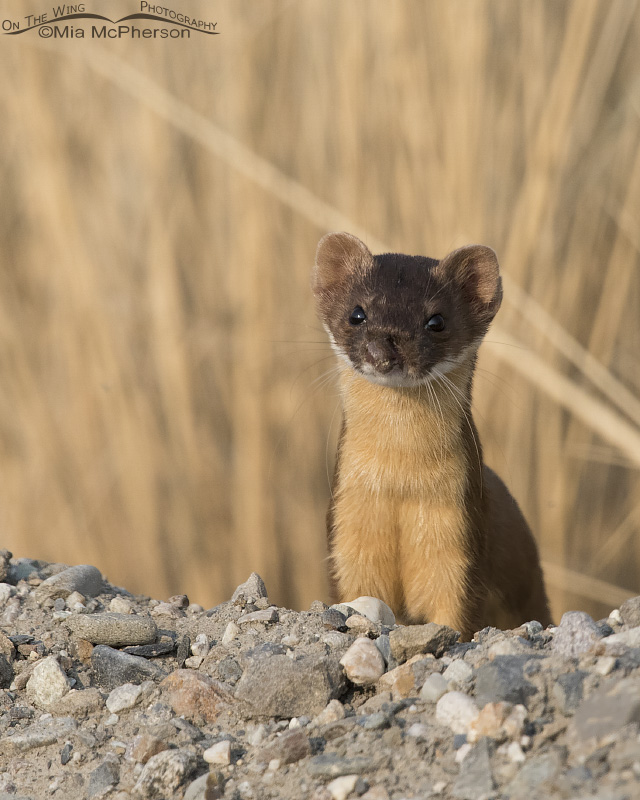 Portrait of the injured Long-tailed Weasel