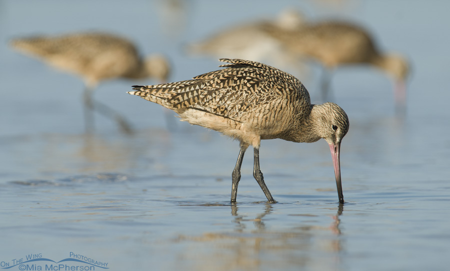 Marbled Godwits feeding