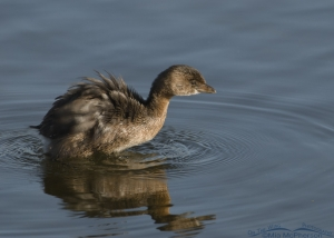 Pied-billed Grebe shaking off