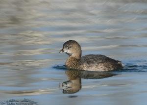 Pied-billed with unusual reflection