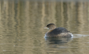 Pied-billed in golden reflections