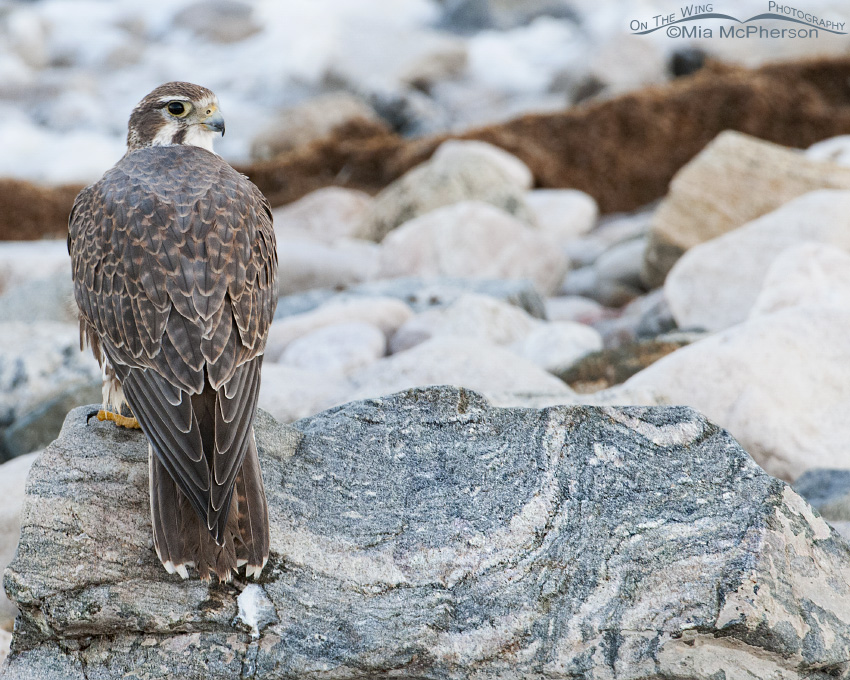 Adult Prairie Falcon resting on a rock