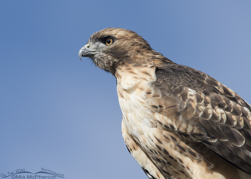 Portrait of a Red-tailed Hawk in Box Elder County