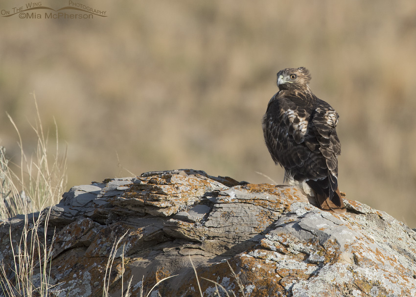 A Red-tailed Hawk perched on a lichen covered boulder
