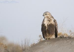 Rough-legged Hawk perched on a slab of concrete