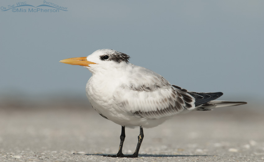A juvenile Royal Tern close up