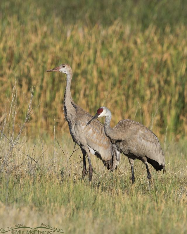 Sandhill Cranes at Farmington Bay