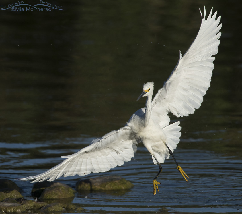 A Snowy Egret about to land