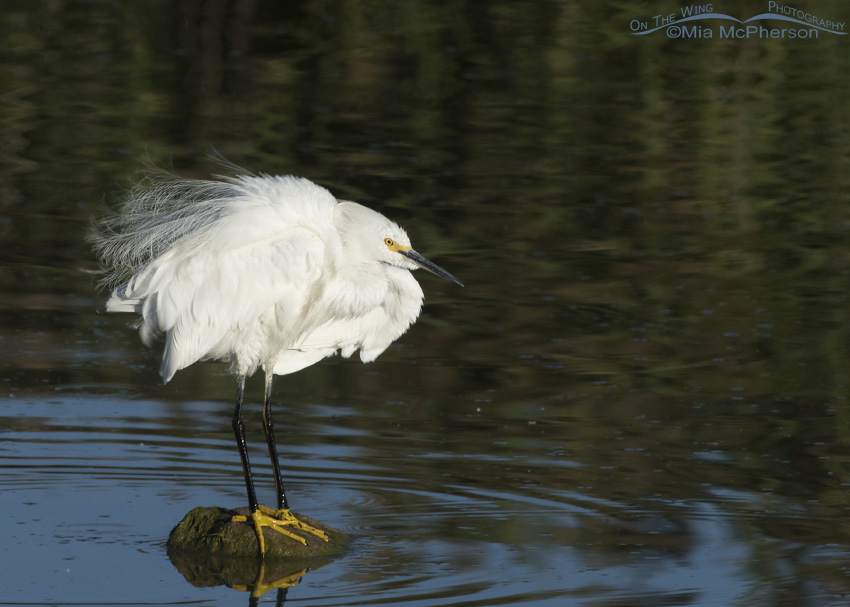 A Snowy Egret rousing after a preening session