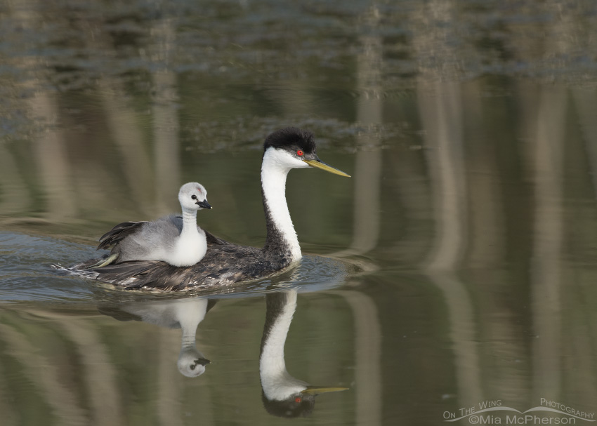 A young Western Grebe riding on an adult