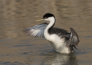Western Grebe - Wing Flapping nearly completed