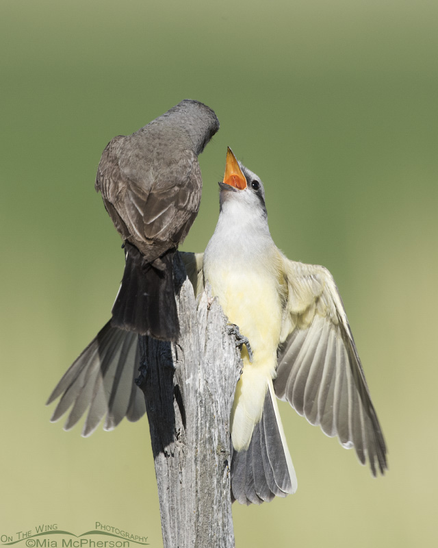 Juvenile Western Kingbird begging for food from an adult