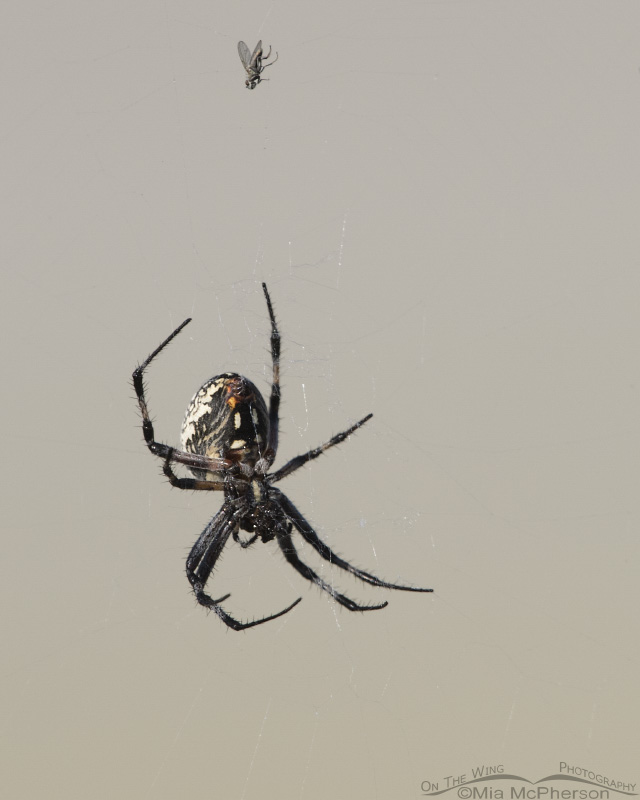 Western Spotted Orbweaver with a captured Brine Fly