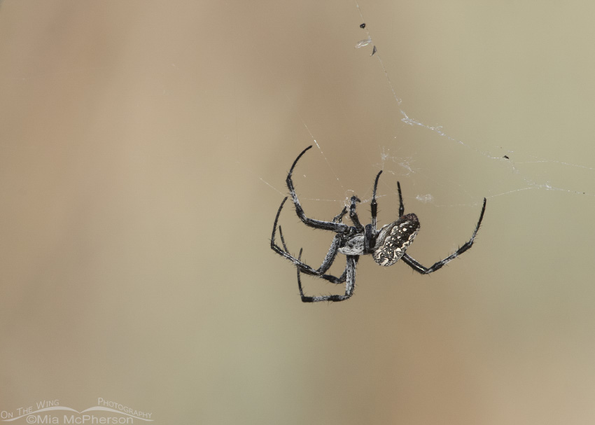 A Western Spotted Orbweaver creating a web