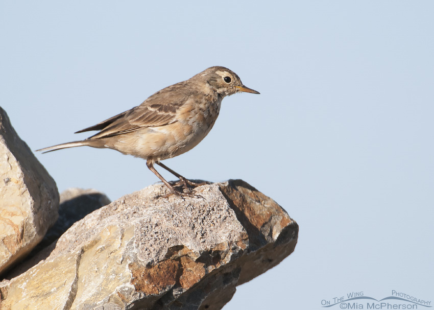 An American Pipit on Migration
