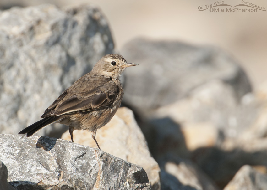 American Pipit at Bear River Migratory Bird Refuge